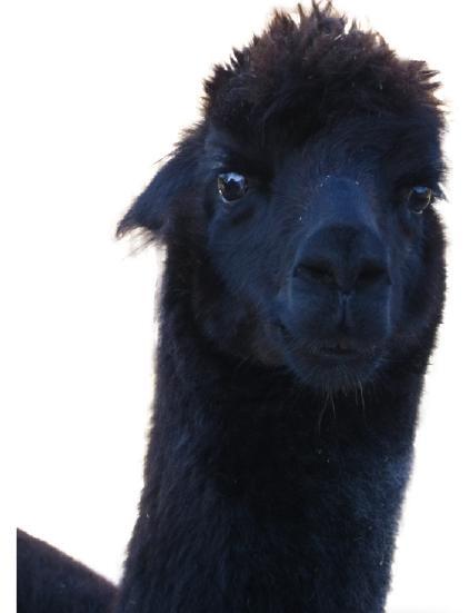 Knuffige Hofbewohner: Alpakas.