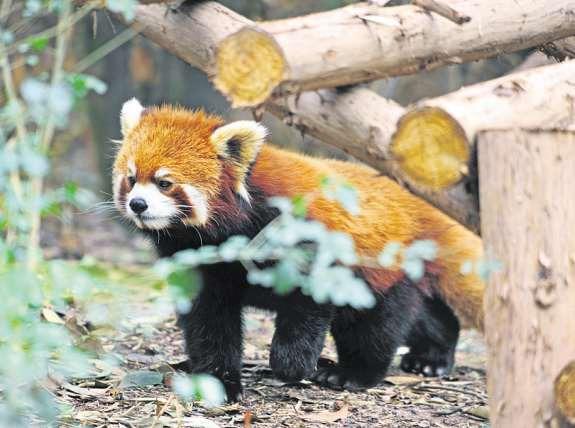 Auch um den vom Aussterben bedrohten Roten Panda kümmert man sich in der Pandaaufzuchtstation in Chengdu PA/REINHARD KAUFHOLD