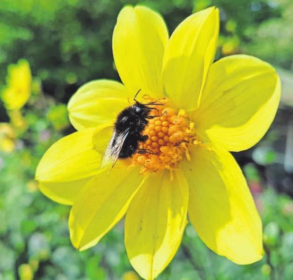 Wichtig ist, dass im Garten auch einfach blühende Sorten wachsen, denn diese produzieren Pollen und Nektar.