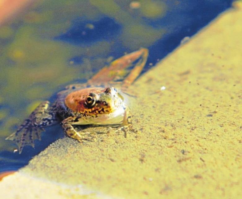 Ein Frosch auf Beton sieht meist keiner rosigen Zukunft entgegen. In den Regenrückhaltebecken entlang der B 300 aber scheinen sie sich wohlzufühlen. Vielleicht ist das manchem Naturschützer zumindest ein kleiner Trost. Fotos: Bastian Brummer