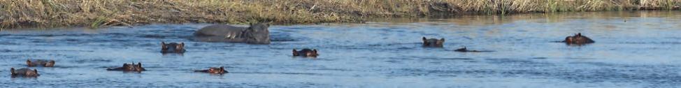 Caprivi ist Nilpferdland. Große Flusspferdherden sind dort zu sehen.