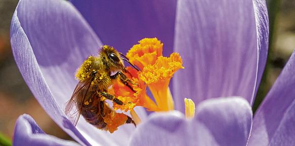 Nektarreiche Krokusblüten bieten der Honigbiene schon früh im Jahr Nahrung. Wer die Zwiebeln im Herbst pflanzt, kann sich im März über die zarten Blüten im Garten freuen. Foto: Jens Schierenbeck/dpa/tmn