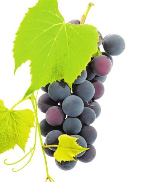 Auch in Sachsen-Anhalt wird Wein angebaut ISTOCK/ZIVA_K