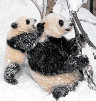 Pandajunge Tai Shan mit Mama Mei Xiang im Zoo von Washington, 2006 PA/WOLFGANG KUMM (2)