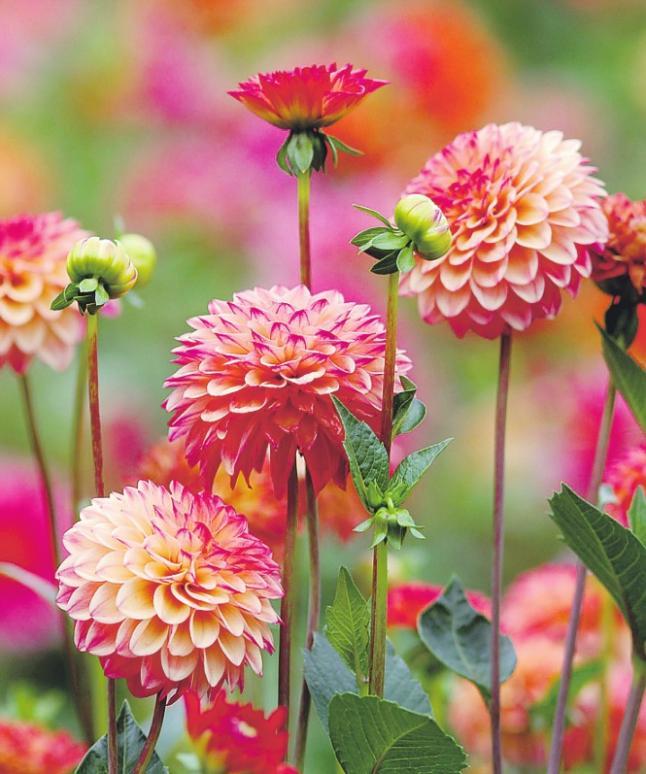 Die Pompon-Dahlie Dahlstein ist sehr beliebt Foto: Botanischer Garten Köln