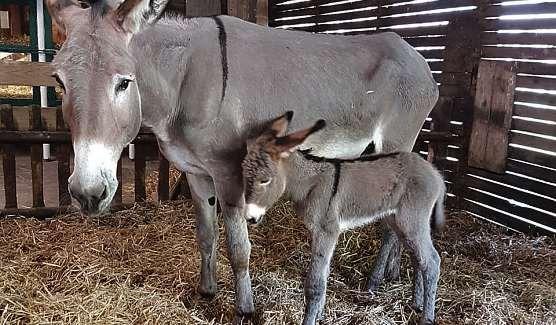 Eselfohlen Lucie ist am 30. Mai geboren worden. FOTO: HFR