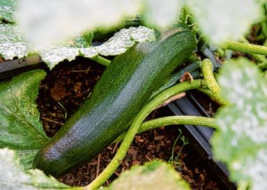 Jedes Gemüse hat eigene Ansprüche an seine Standortbedingungen: Zucchini benötigen viele Nährstoffe im Boden. Sie gelten als Starkzehrer. Foto: Andrea Warnecke/dpa/tmn