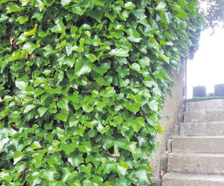Mauern im Garten lassen sich mit Efeu einfach und dauerhaft begrünen Foto: BGL