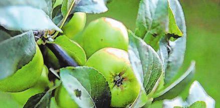 Frostunempfindliche Obstbäume jetzt pflanzen