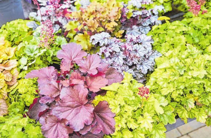 Blattschmuckpflanzen als Blickfang im Herbst