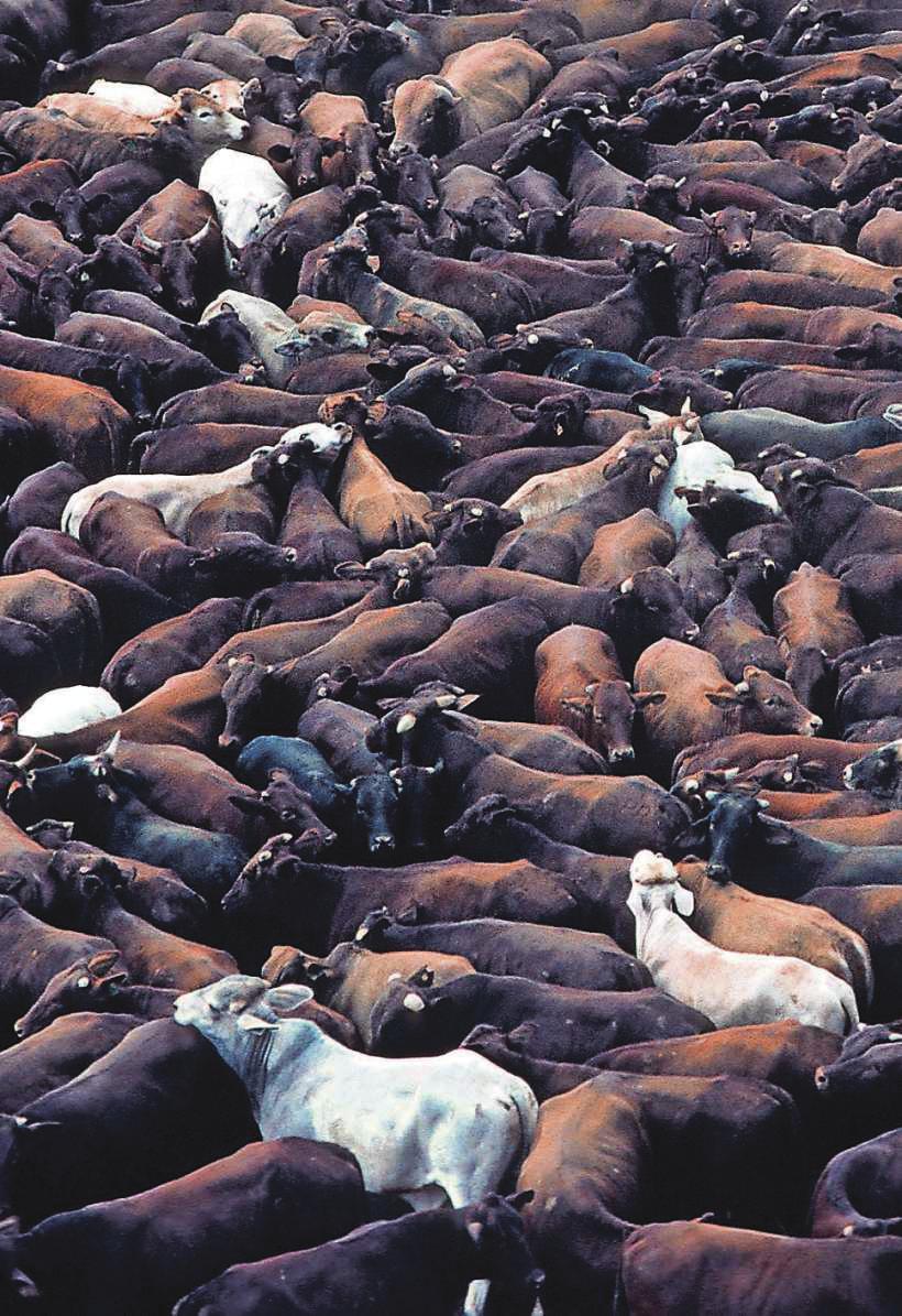 Immer noch zu wenig. Bis 2050 soll sich die globale Fleischproduktion auf 460 Millionen Tonnen jährlich verdoppeln. Im Bild eine Rinderfarm in Queensland, Australien.