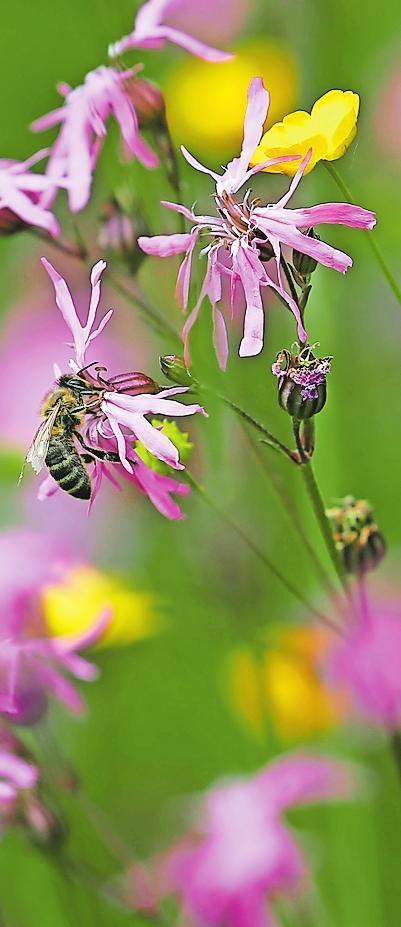 Bieten nicht nur Bienen Nahrung: Blumenwiesen. Gartenbesitzer müssen beim Anlegen ein paar Dinge beachten. FOTO: KARL-JOSEF HILDENBRAND/DPA