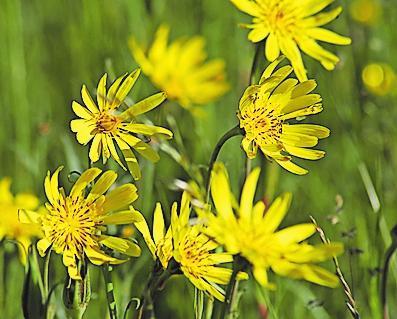 """""""Gelbe Phase"""": Im Frühling blühen auch Wiesenbocksbart ..."""
