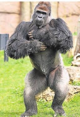 Der Silberrücken-Gorilla Kidogo ist Publikumsliebling im Zoo.