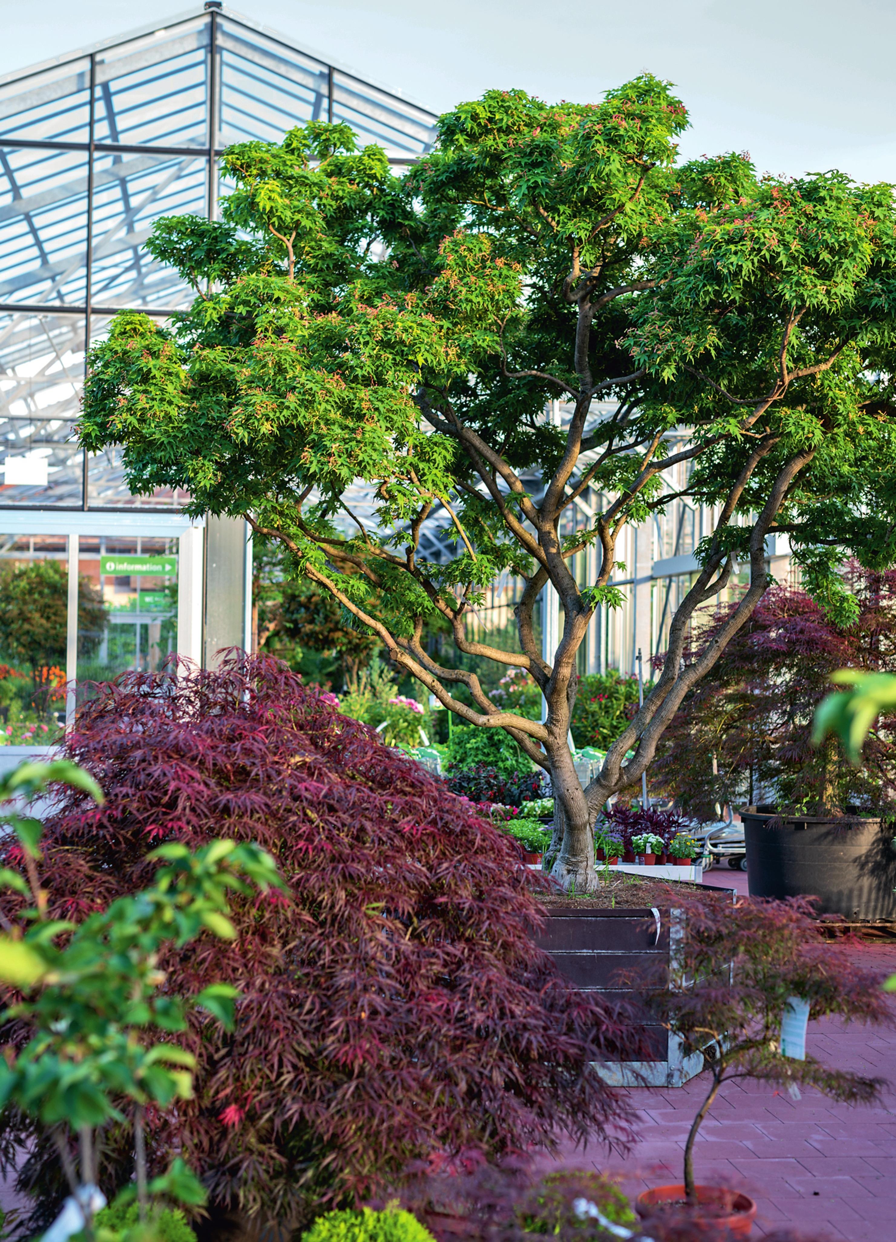 Daepp ist Spezialist für Charakterpflanzen wie Bäume, Solitärgehölze und Gartenbonsai.