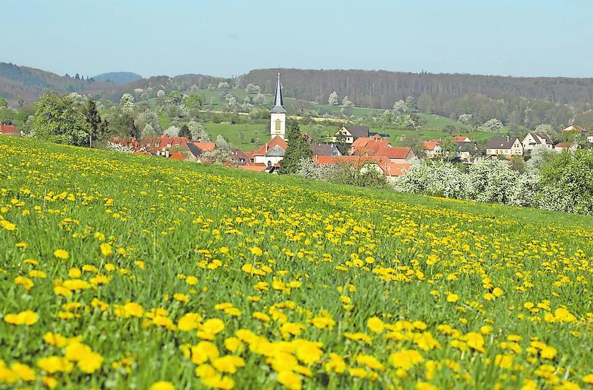 Reiche Ernte: Löwenzahnwiese bei Wingen im Elsass, dem zweiten Standort der Kräuterschule der Schauers. Foto: Johannes Schauer/frei
