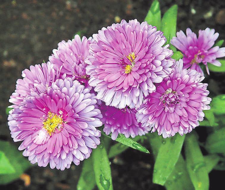 Sommeraster erfreuen jeden Gartenbesitzer mit ihrer farbenfrohen Blütenpracht. Foto: pixabay.com