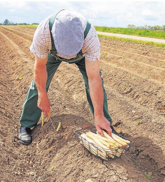 Deutschland ist Spitzenreiter in Sachen Spargelanbau. Auf 25 Prozent der Gemüseanbauflächen wachsen die Stangen.