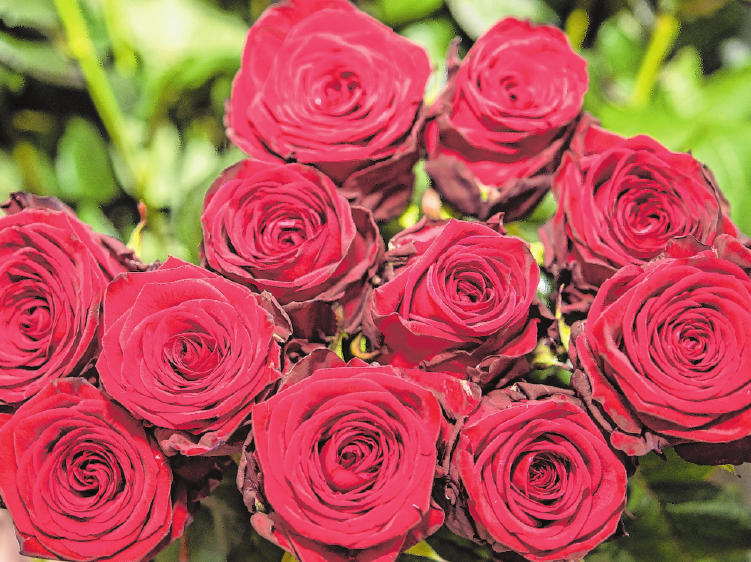 Gerade rote Rosen stehen wie keine andere Blume für die Liebe – sind doch ihre Blätter herzförmig. FOTO: R. GÜNTHER, MAG