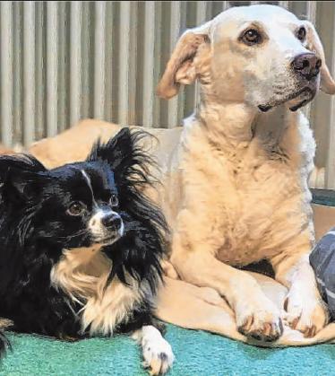 """Die meisten Hunde lieben Homeoffice, weil sie gern möglichst viel Zeit mit """"ihren"""" Menschen verbringen. Foto: TierSV"""