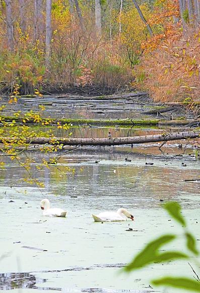 Schwäne und Co.: Die Rheinauen sind ein Paradies für Wasservögel aller Art. Foto: wig
