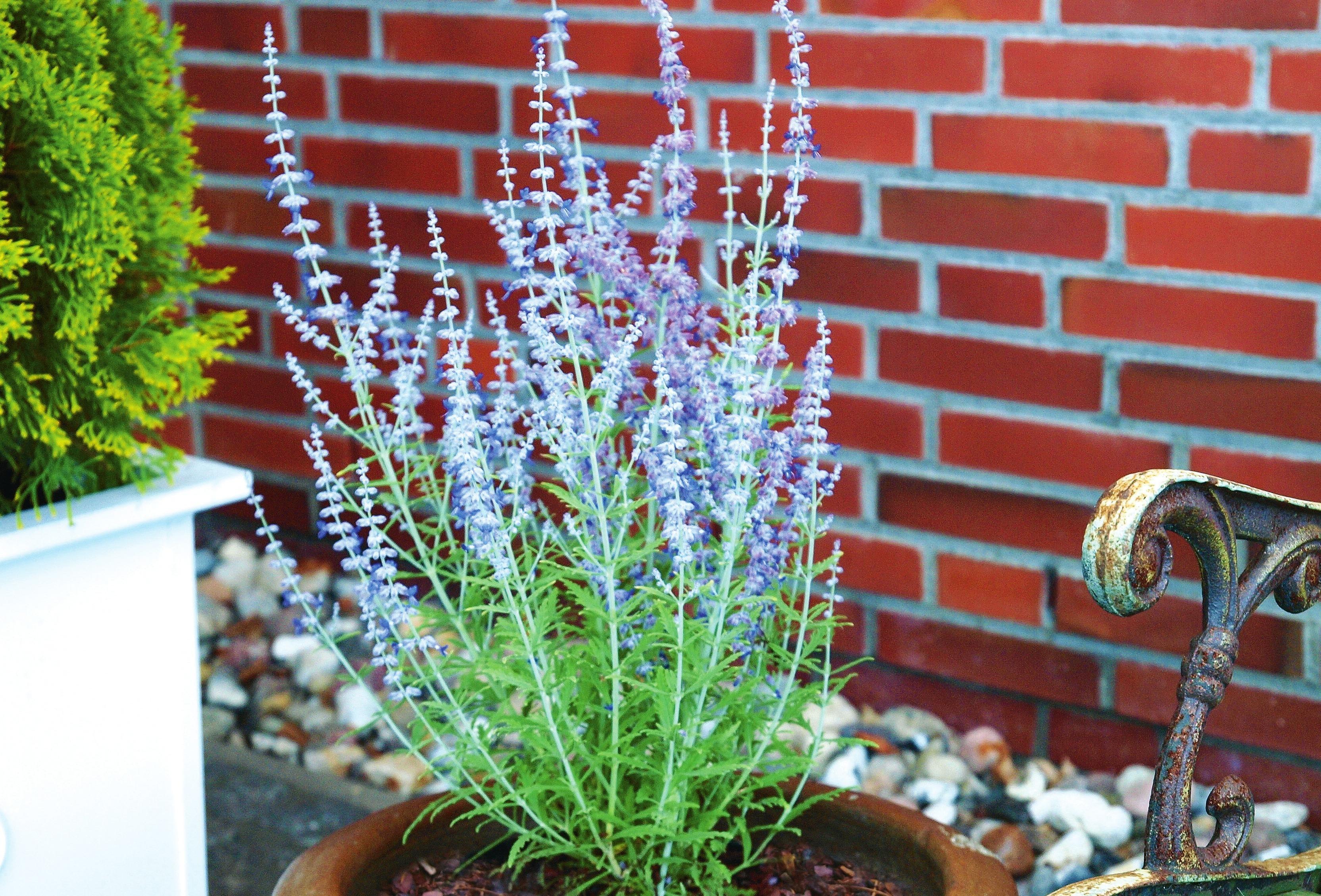 Perovskia atriplicifolia 'Blue Spire' für sonnige Lagen. Foto: Kordes Jungpflanzen