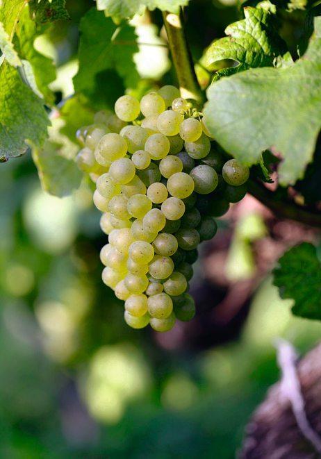 Die Weintrauben schmecken direkt vom Stock am besten. Doch der Hochgenuss kommt erst nach der Gärung.Foto: WTG/Wurnig