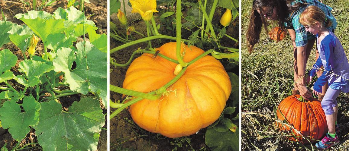 Wer züchtet den größten Kürbis? Die Gartenbaumschule Andresen hofft auf junge Gärtner Foto: pr