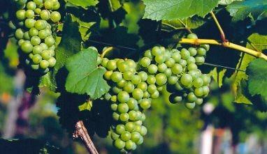 Gefällt durch grüne Aromen: Sauvignon Blanc. Foto: Pfalzwein