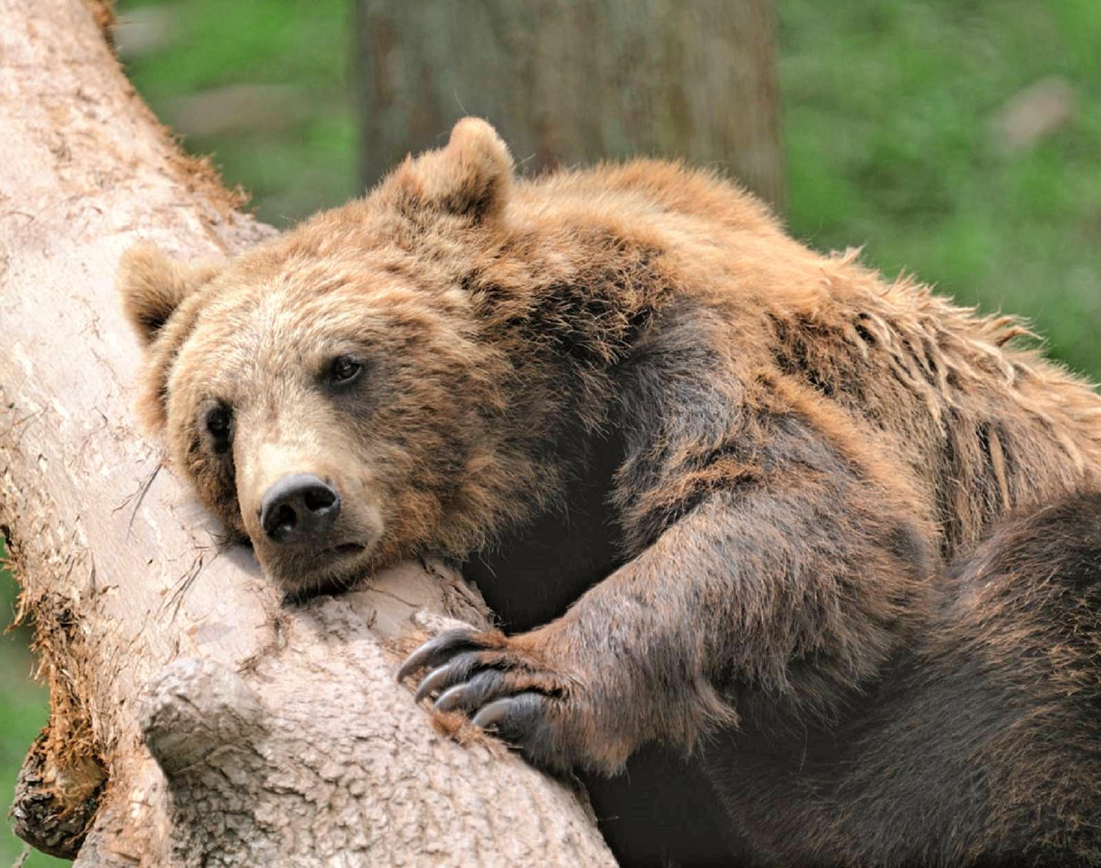 Braunbären aus nächster Nähe beobachten – auch diese Möglichkeit bietet das Wildparadies Tripsdrill. Hier kommen Tierfreunde aller Generationen auf ihre Kosten.