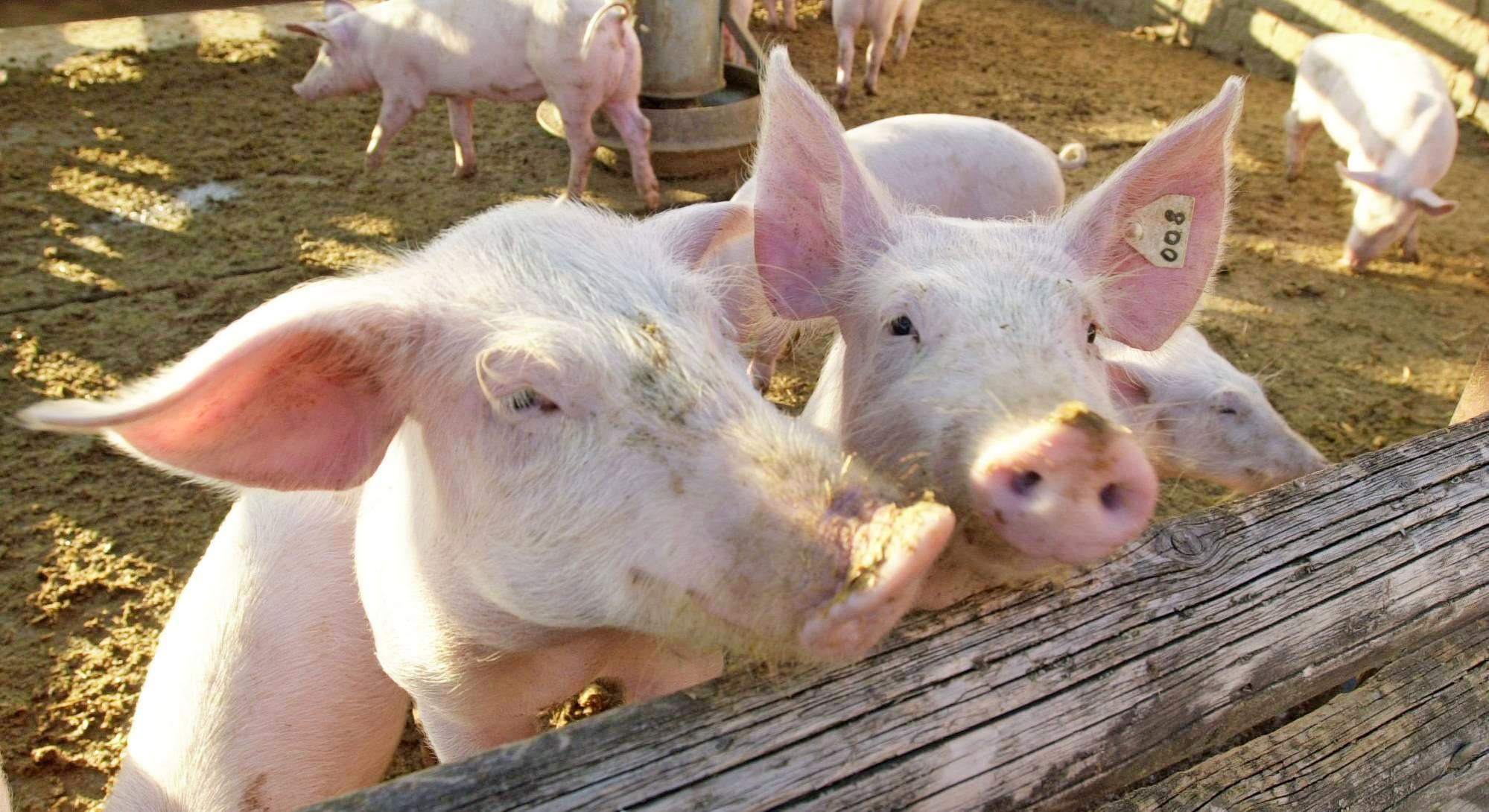 In einem nicht repräsentativen Marktcheck haben Verbraucherzentralen im Mai und Juni das Fleischangebot in den einzelnen Haltungsstufen geprüft. Foto: Archiv/Dirks
