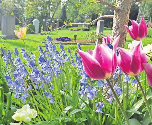 Eine Freude auf dem Friedhof: Tulpen und Hasenglöckchen. Foto: fluwel
