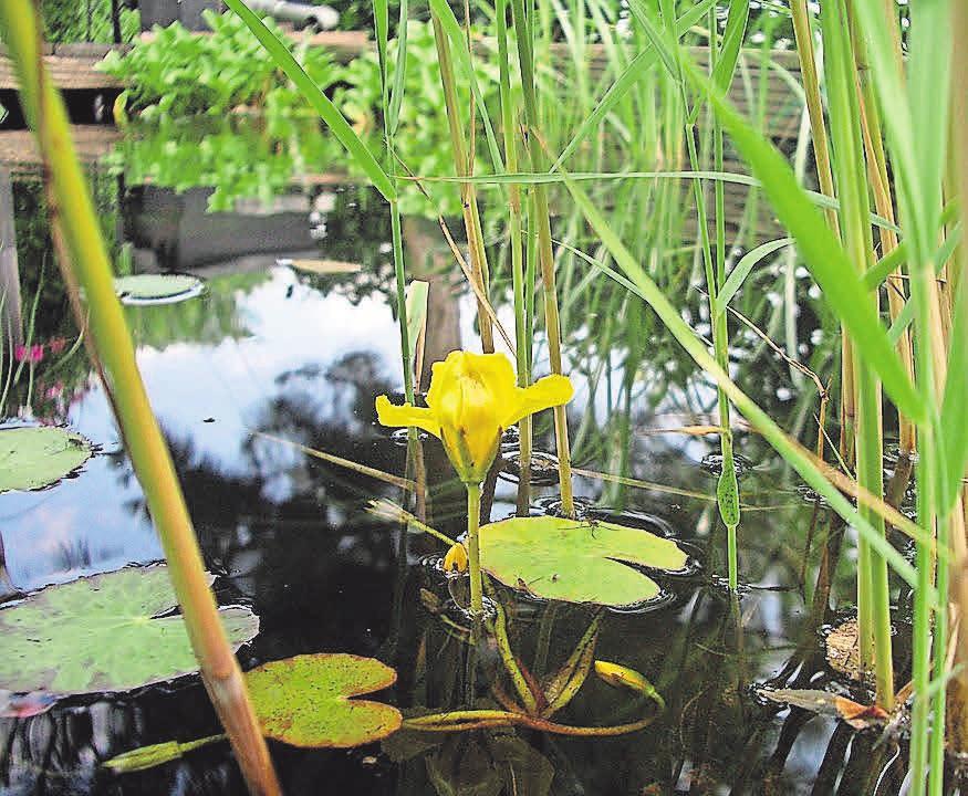 Teichpflanzen sind bei einem Teich der Hingucker.