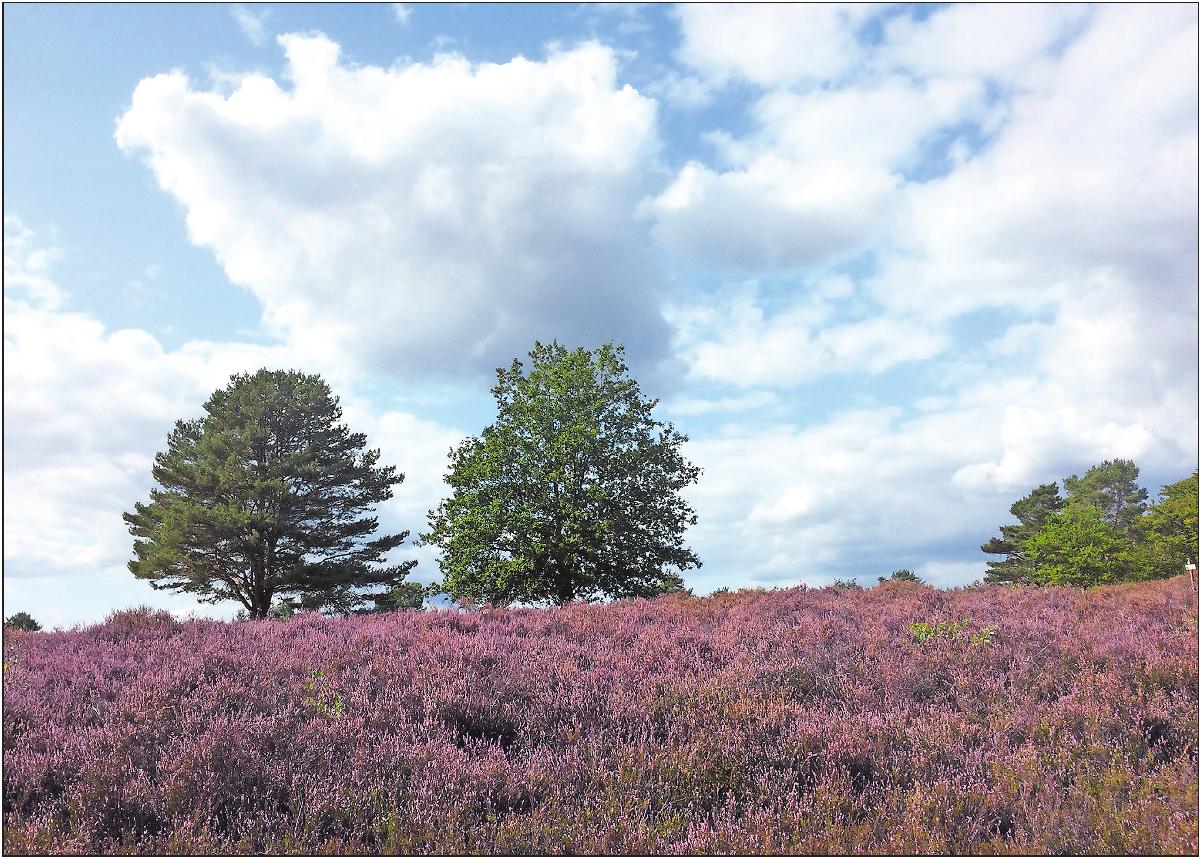 Blassviolett bis bräunlich: der Heidekrautteppich bei Mehlingen Anfang September. Foto: kai
