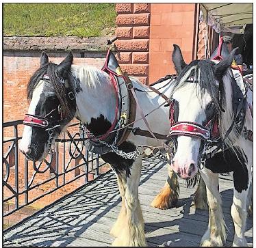 Treu: Dowra und Peaches zien die Kutsche durch Germersheim.Foto: dem