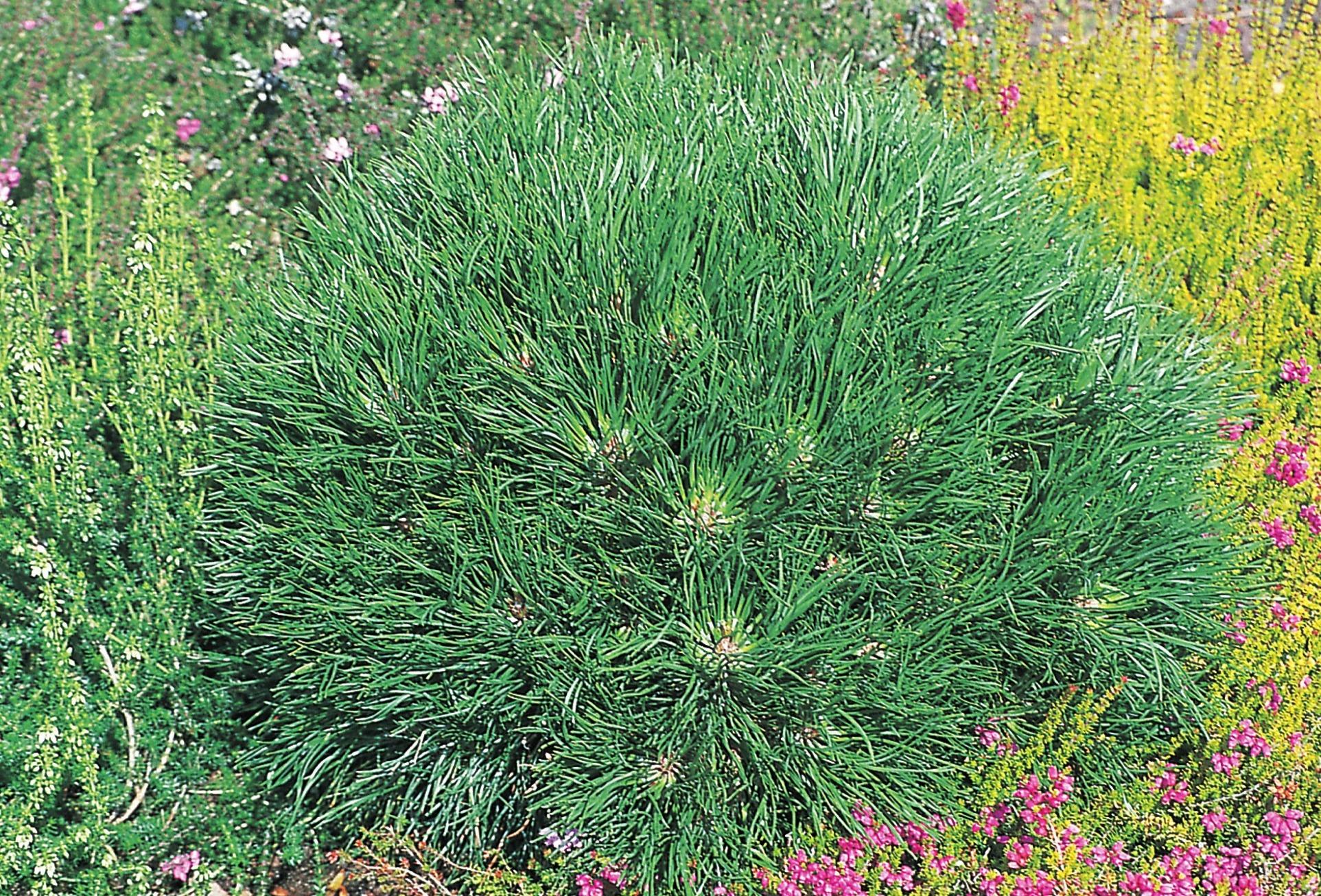 Pinus mugo 'Varella' erträgt Trockenheit.