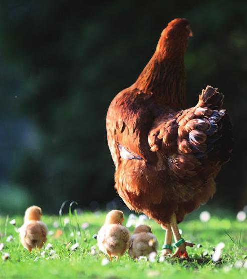 Hühner sollten als Auslauf einen Garten haben, rät die Hobbygärtnerin