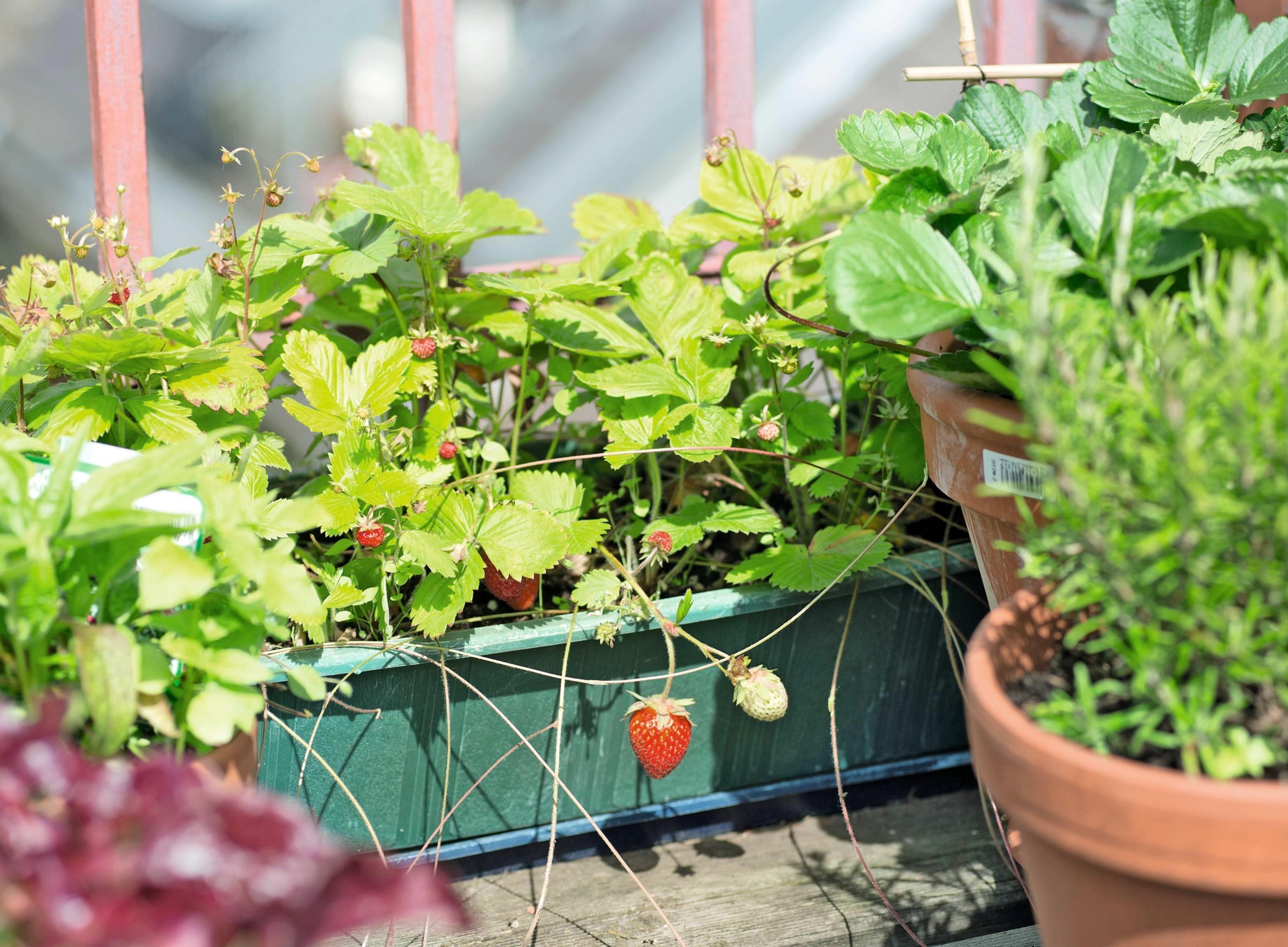 Gärtnern ohne Garten: Wie sich Naschobst- und Gemüse auf Balkon und Terrasse anbauen lässt.