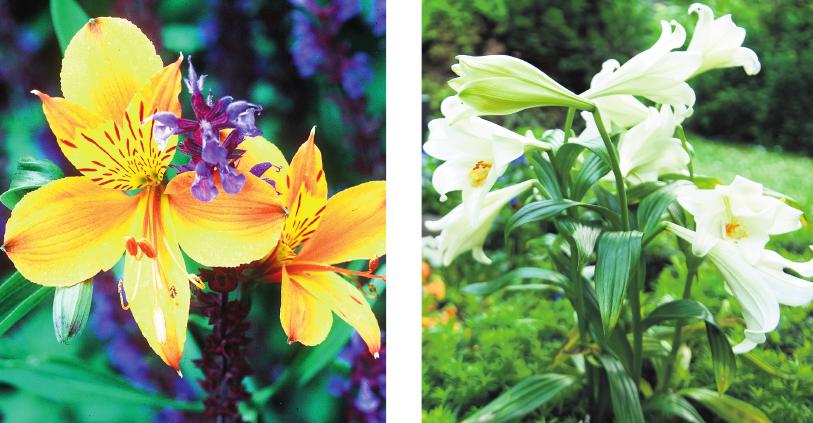 Die Alstroemerie ist ein Symbol für eine lange Freundschaft. Lilien stehen für die Vergänglichkeit. FOTOS: DPA