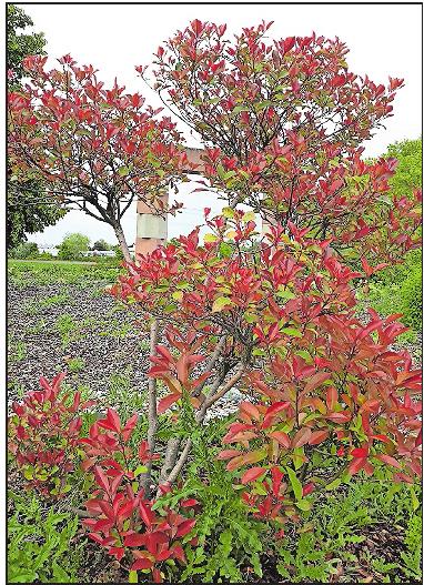 Die zur Familie der Rosengewächse zählende Glanzmispel bietet über das Jahr hinweg ein berauschendes Farbenspiel, wie hier am Kreisel in Maxdorf. FOTO: BRÄUNLING