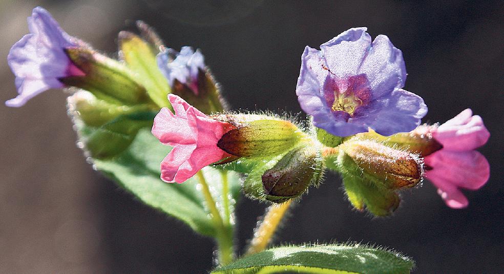 Lungenkraut ist nicht nur im Frühlung hübsch anzusehen: Es bietet Hummeln auch im Spätwinter bereits Nahrung.  FOTOS: DPA