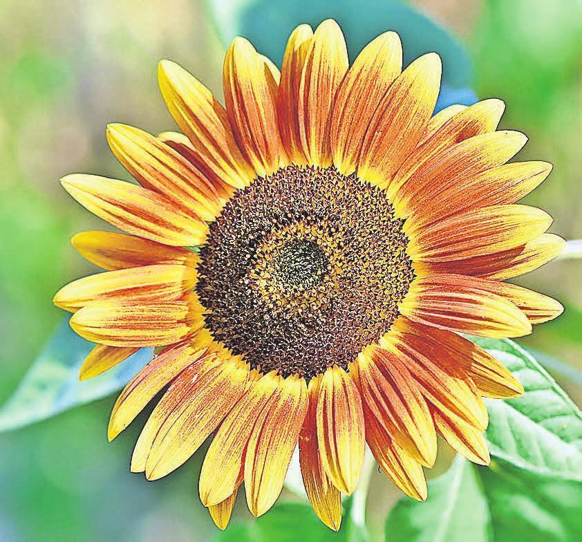 Mit ihren wunderschönen Farben sind Sonnenblumen in jedem Garten ein Hingucker. pixabay.com