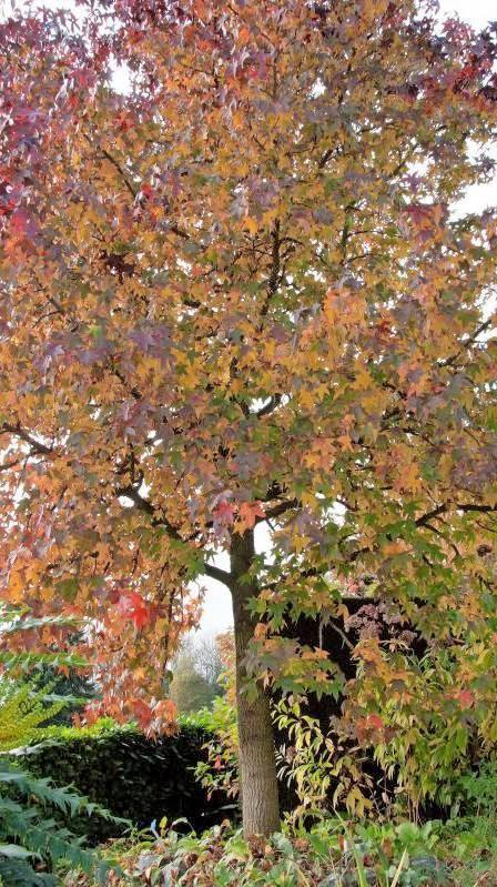 Klimarobust: der amerikanische Amberbaum.