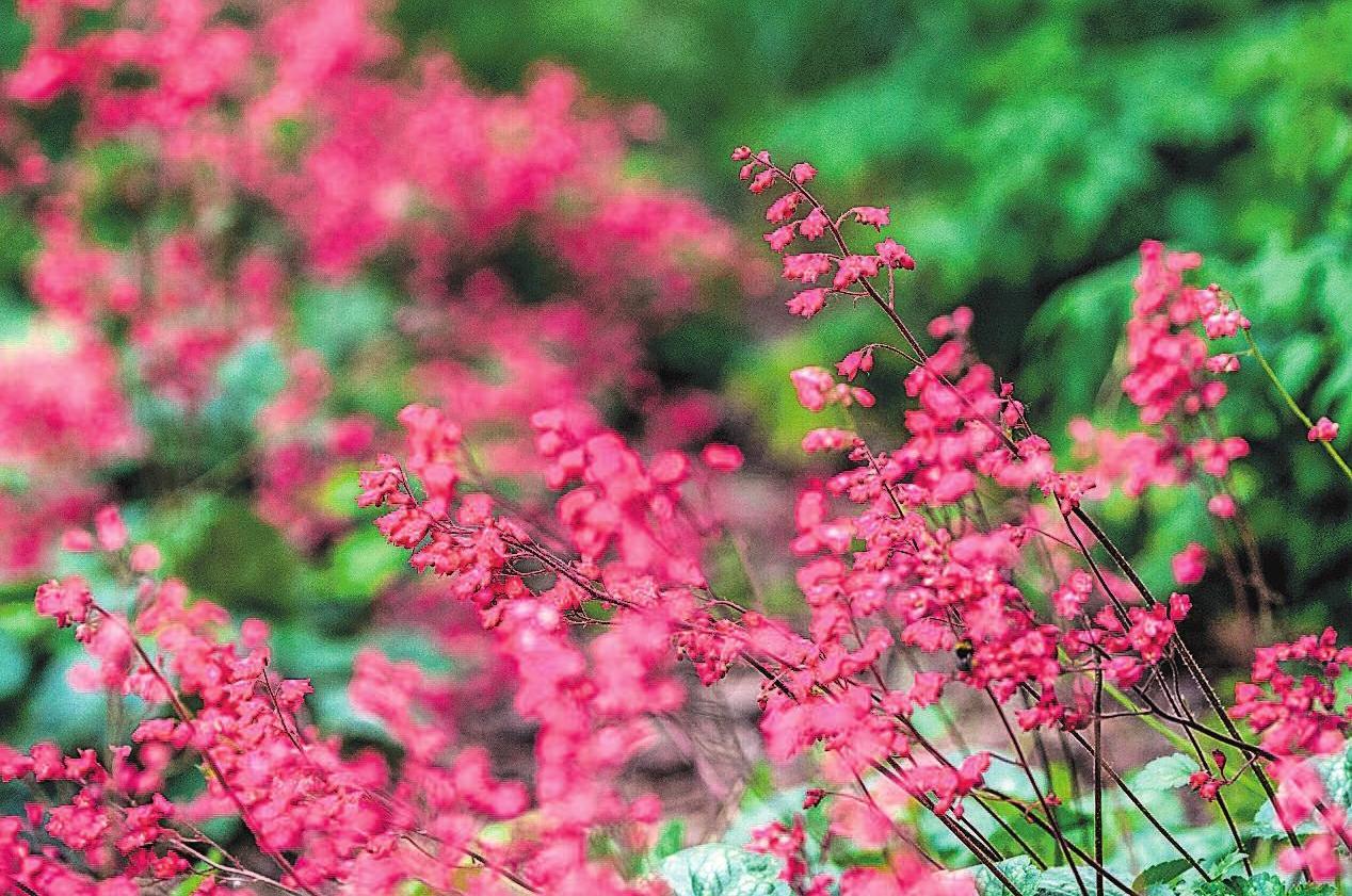 Purpurglöckchen (Heuchera) gehören zu den dauerhaften Pflanzen. Fotos: Andrea Warnecke/dpa-tmn