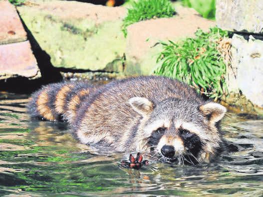 Einfach tierisch gut: Besucher erleben Waschbären in Aktion.