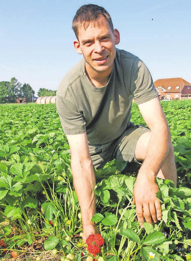 Bei Harm Nöhre auf dem Feld kann man jetzt die Erdbeeren auch selbst pflücken.