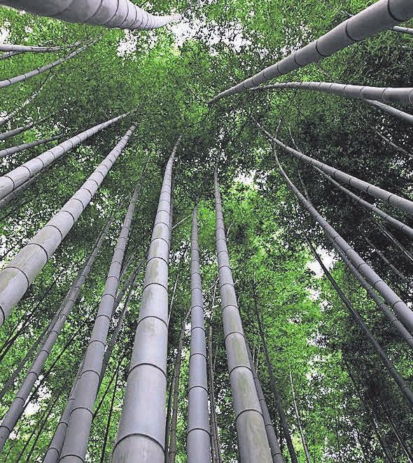 Bambus ist eine der am schnellsten wachsenden Pflanzen weltweit.