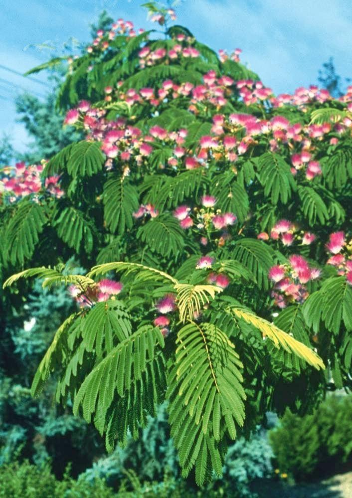 Der Seidenbaum, auch Seidenakazie oder Schlafbaum genannt.