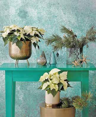 Wie gemalt wirkt dieses weihnachtliche Stillleben im modernen, Vintage- inspirierten Green-Living-Stil. Weihnachtssterne in Cremeweiß bilden zusammen mit gold- und bronzefarbenen Accessoires einen reizvollen Kontrast zu den Grüntönen der Umgebung Foto: starsforeurope.com