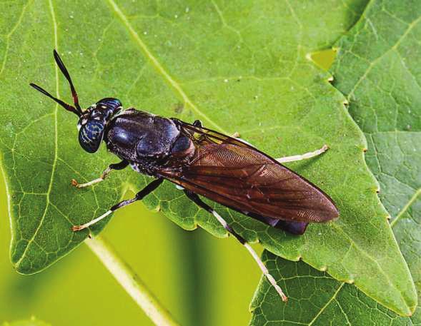 Insekten wie Grillen oder die Schwarze Soldatenfliege (hier im Bild), die unter kontrollierten Bedingungen produziert werden, kann man zubereitet unbedenklich essen.